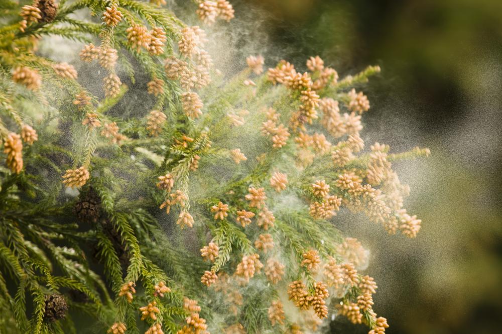 2017年の花粉飛散予測時期とは?