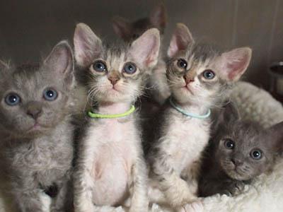 世界一美しい猫!ラパーマ人気が来ーるー!やっぱり猫が好き