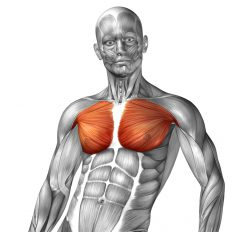 ◆ 腕立て伏せで鍛えられる筋肉:胸筋